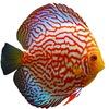 Voronezh-fish аквариум дискусы