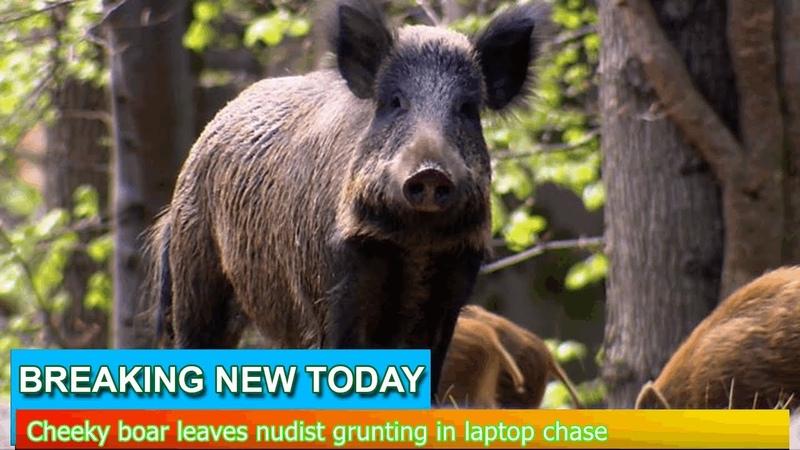 Breaking News Cheeky boar leaves nudist grunting in laptop chase