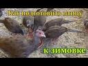 Фазаны. Как подготовить птицу к зимовке. секреты птицеводов