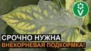 ПОМИДОРЫ БУДУТ РАЗМЕРОМ С ГОРОХ, если игнорировать эти симптомы! Магниевое голодание растений