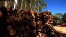 Деревообрабатывающая промышленность и восстановление Атлантического леса полное