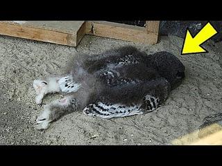Вот почему совы спят мордой вниз!