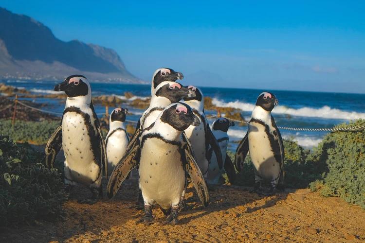 Речь пингвинов следует правилам человеческого языка, изображение №2