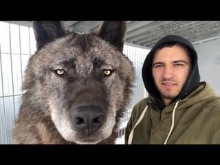 Самый большой волк на планете, The biggest wolf on the planet, Канадский волк, волк, крупный волк