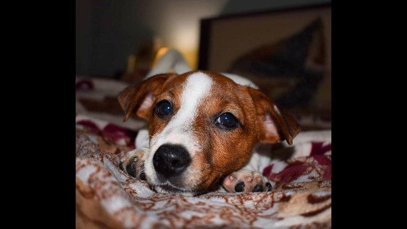 Как правильно замотать уши щенку Джек рассел терьеру