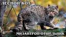 ЕВРОПЕЙСКИЙ ЛЕСНОЙ КОТ Родственник горной китайской кошки Интересные факты про кошек и животных