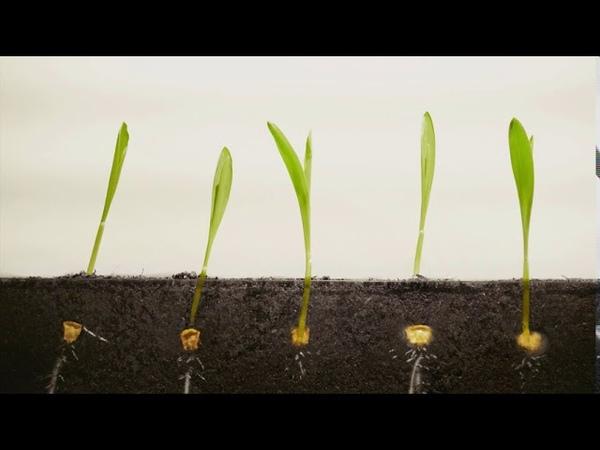 Corn seeds germination corn growing time lapse