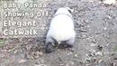 Baby Panda Online Showing Off Elegant Catwalk | iPanda