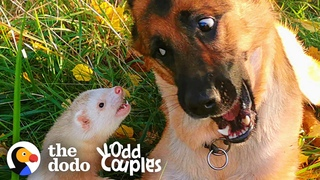 Watch This Dog And Ferret Become Best Friends   The Dodo Odd Couples