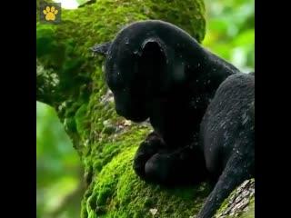 Черная пантера под дождём в лесу!