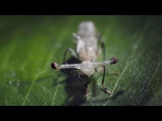 Стебельчатоглазые мухи Diopsidae HD