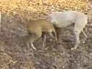 Собачьи бои Гуль донг VS питбуль