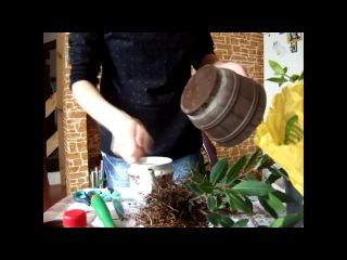 Как вырастить лавр благородный дома