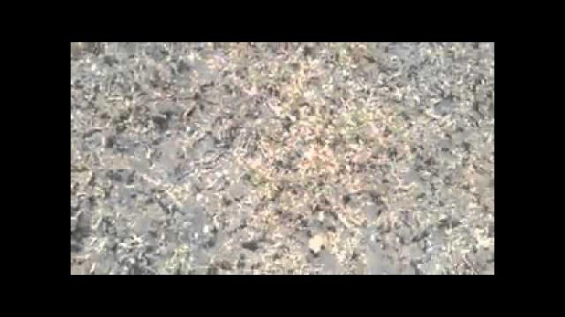Қазақы құмай тазы (ҚҚТ).Күшік1178осаяқ (Күшік ауыздандыру бір түрі)