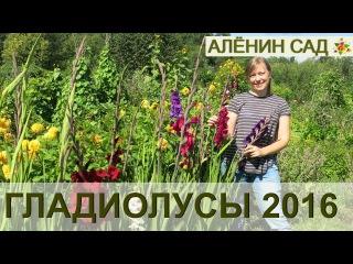 ГЛАДИОЛУСЫ в моем саду 2016 / Gladioluses 2016
