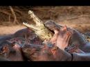 Бои диких животных НЕВЕРОЯТНО ОСТРЫЕ МОМЕНТЫ! Fighting wild animals