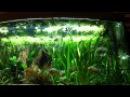Piranha Fütterung