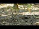 Dudek chocholatý / Eurasian hoopoe / Upupa epops
