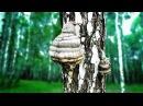 Чага берёзовый гриб – полезные свойства и применение чаги, как настаивать чагу, лечение чагой