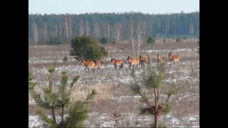 Wild Horses in Chernobyl Exclusion Zone Коні Пржевальського в Чорнобилі