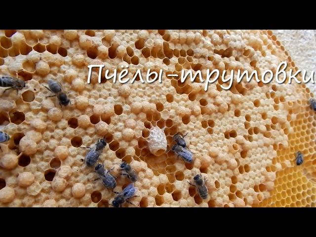Пчёлы трутовки