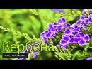 Вербена посадка и уход в домашних условиях Verbena planting and care in the home