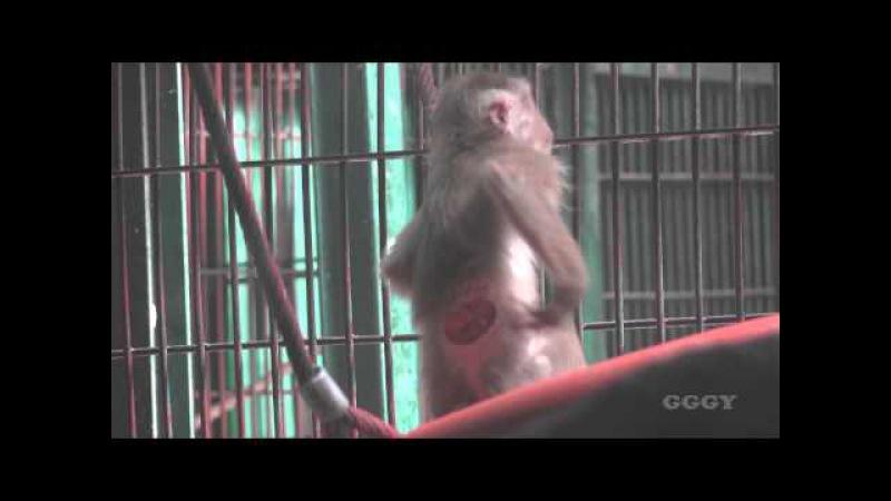 돼지꼬리 원숭이 Pig Tailed Macaque PBM 2015 5 22 1