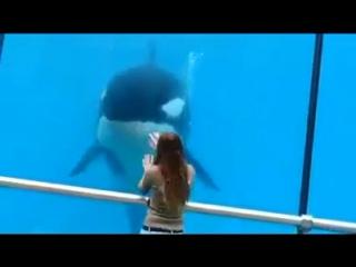 Interação entre uma orca e uma pessoa. esses animais são extr...