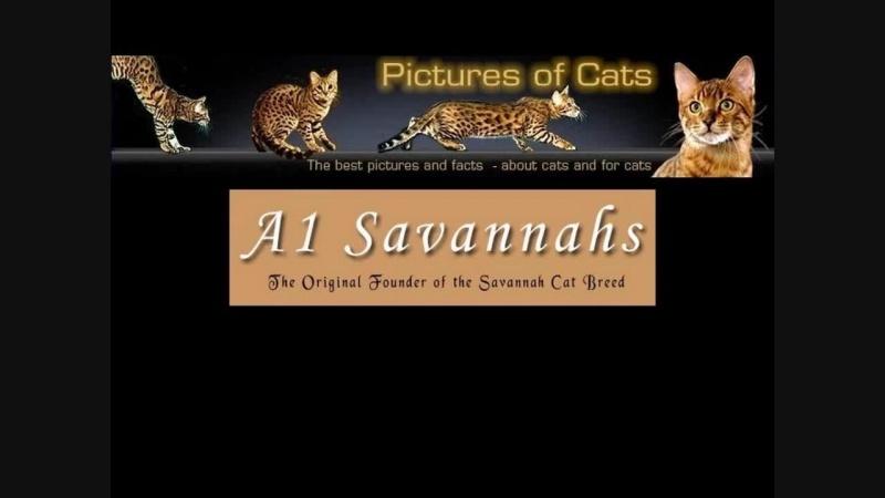 Порода кошек Саванна F1 - Самая большая и дорогая домашняя кошка в мире!