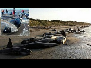 Hundreds of whales die in mass stranding on New Zealand beach(shocking news) video