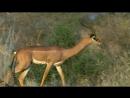 BBC Жизнь млекопитающих Травоядные 4 серия