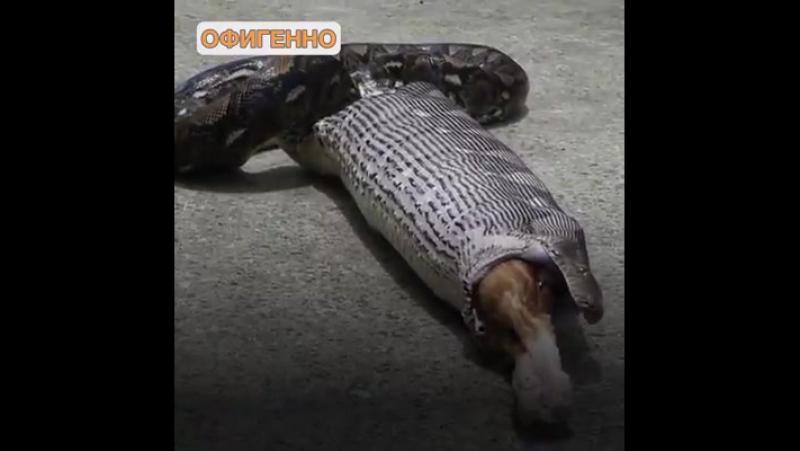 змея съела кота спасатели извлекли живым