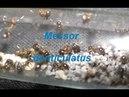 Messor denticulatus красногрудый муравей жнец.