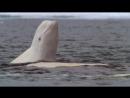 BBC Голубая планета 4 Замёрзшие моря Познавательный природа животные 2001