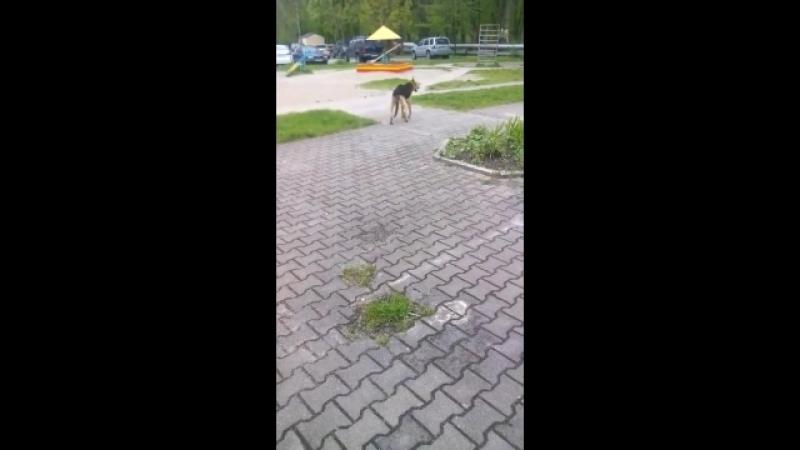 Ищу хозяина для Хрома кривого пса из балтрайона