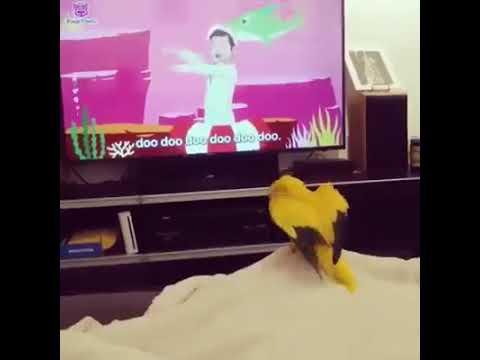 Welberson, o pássaro fanático por Baby Shark