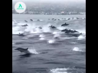 Стая дельфинов | АКУЛА