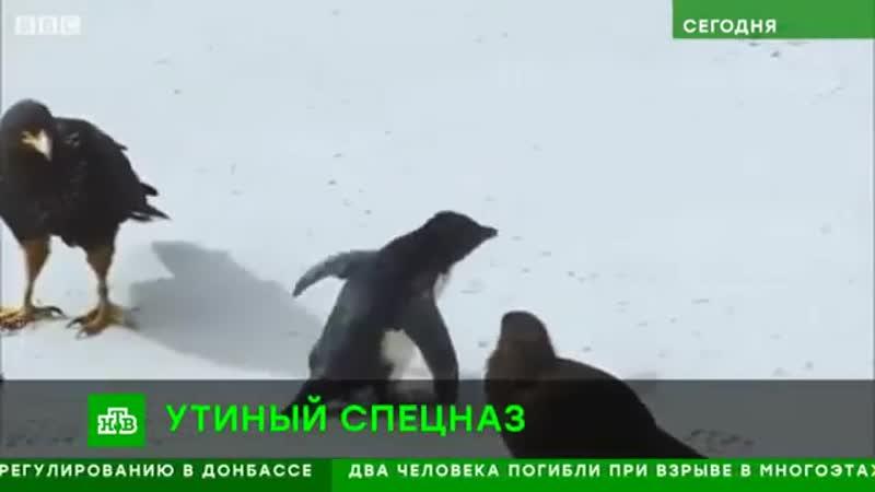 Utki_spasli_neuklyuzhego_pingvinenka_ot_stai_hishhnyh_ptic