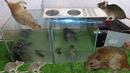 Trap electric mouse with 12v battery and glass cage Best water rat trap Homemade water trap