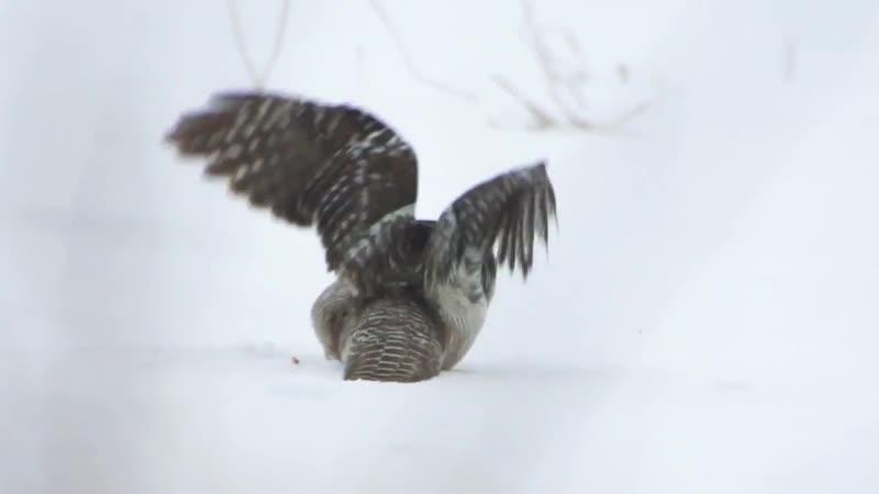 Ястребиная сова Охота Osten Haug