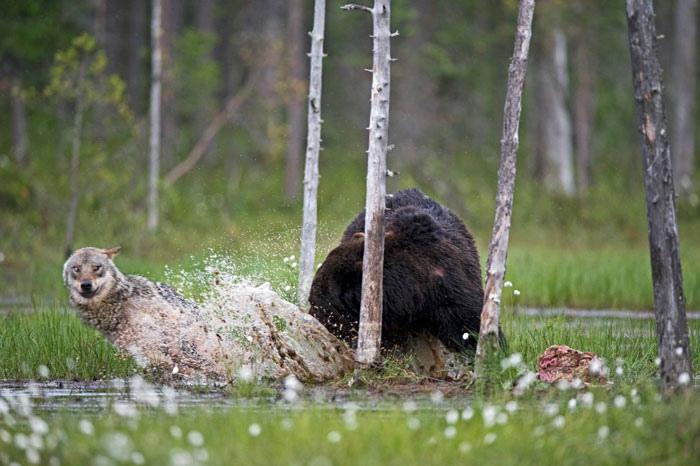 Необычная дружба между медведем и волком в дикой природе: фото