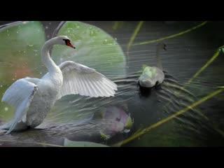 О верности спроси у лебедей