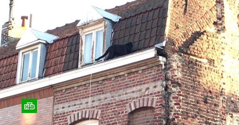 Французов напугала гуляющая по крышам и заглядывающая в окна пантера