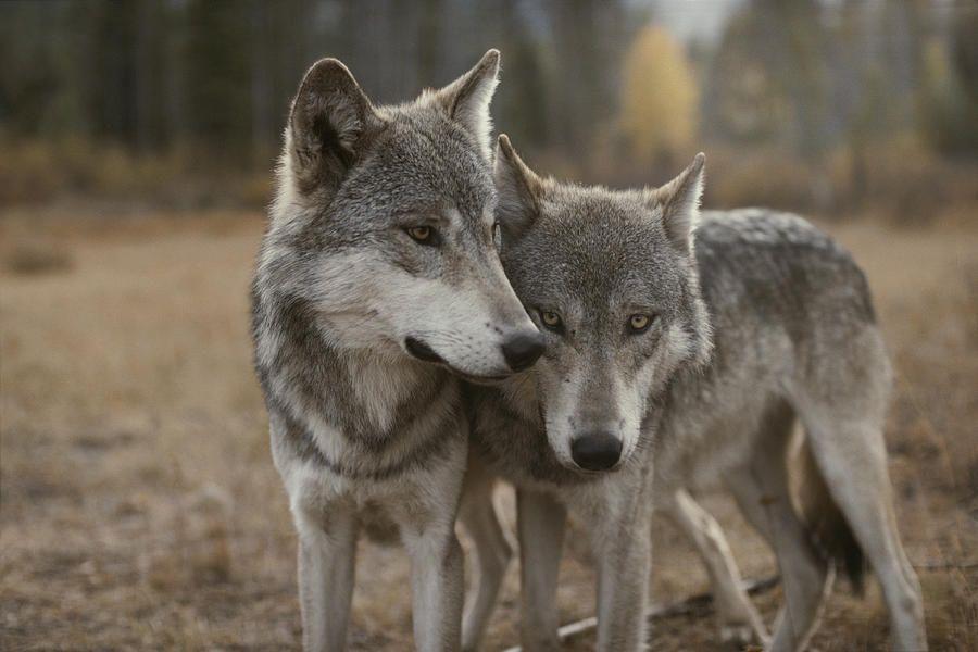 Картинки о волчьей верности