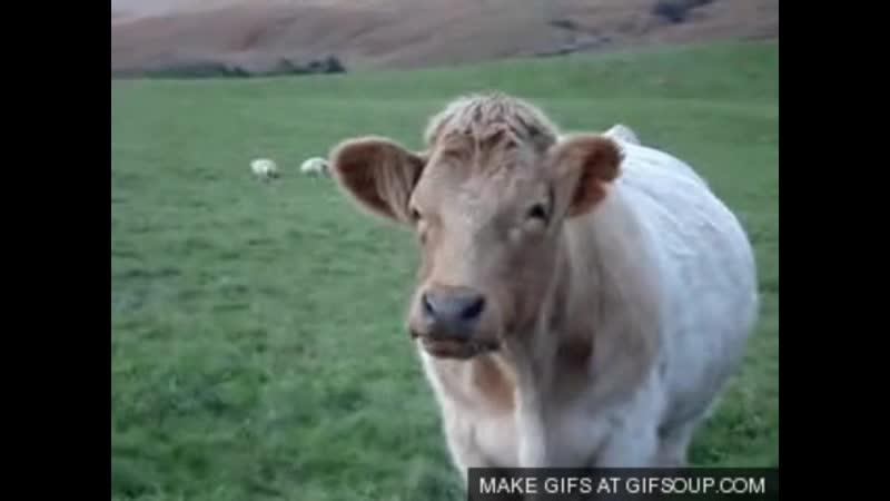 Гифка корова жует
