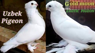 Ammazing Exotic Fancy Pigeon Breeding Loft | Most Beautiful Fancy pigeon Collection (Uzbek Pigeon)