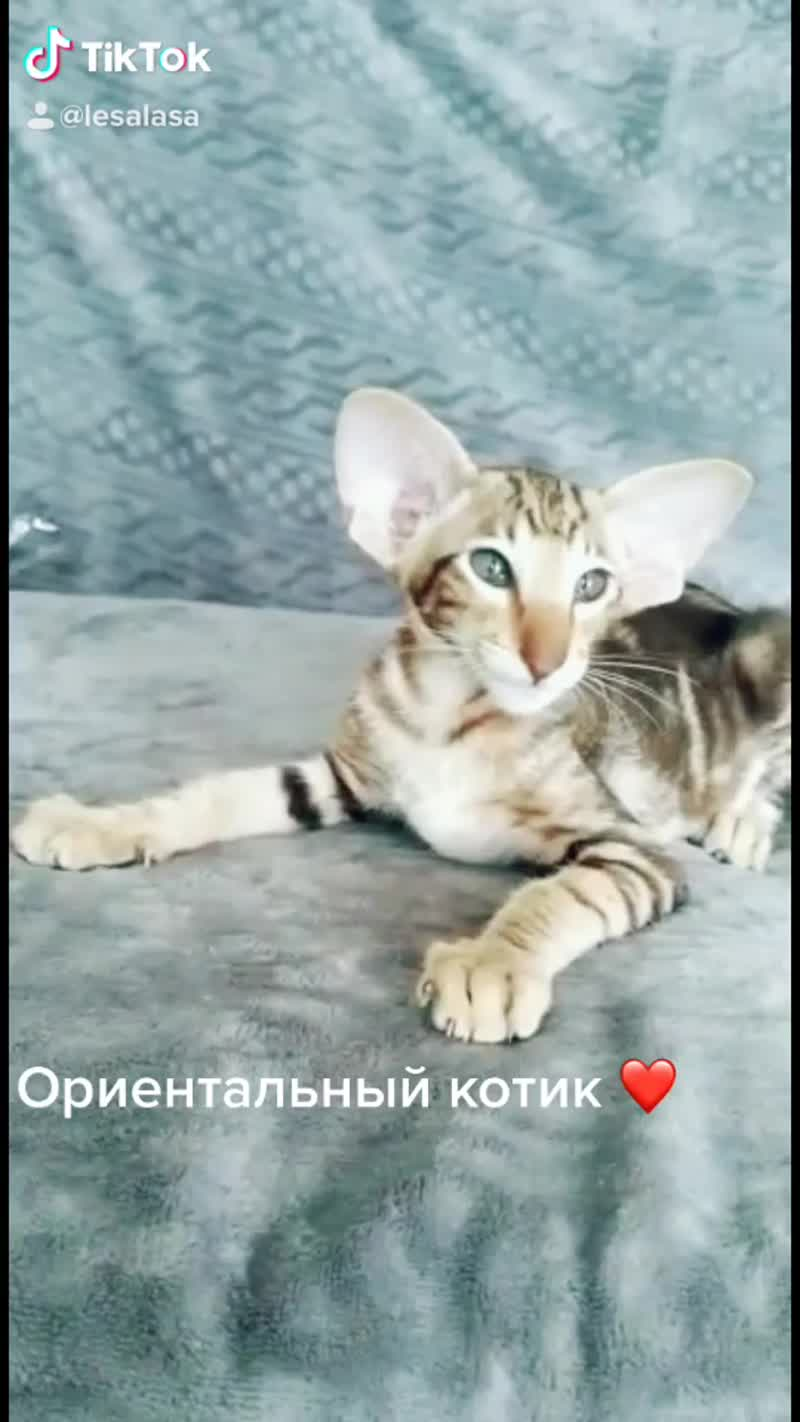 Питомник  ориентальных и сиамских кошек
