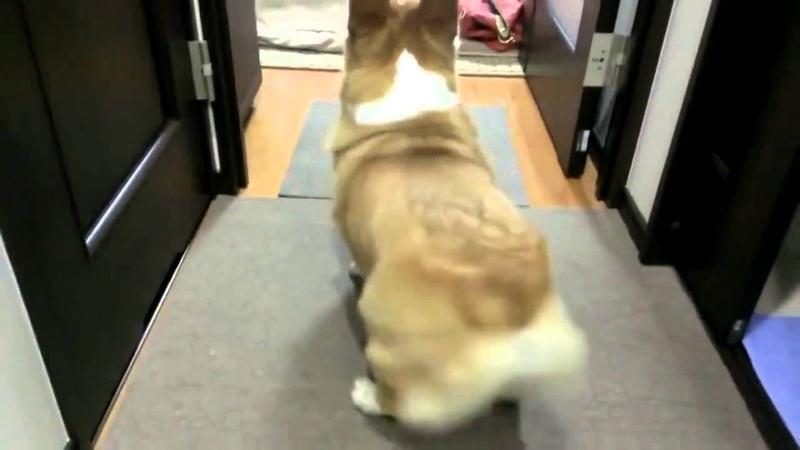 Корги твёрки собачка тверкает тверк собачки собака танцует попой