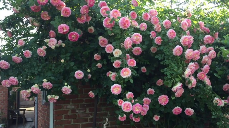Cesar Цезарь плетистая роза для южных садов Обильное цветение розы в саду