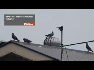Голуби тоже развлекаются у них свои карусели.